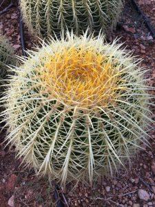 Echinocactus grusonii simple
