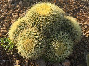 Echinocactus grusonii grupo