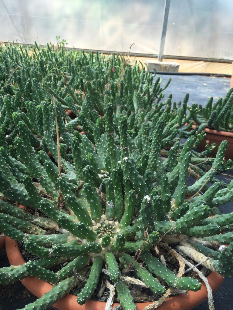 Euphorbia Inermis